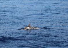 Kookospalmun alla blogi oli 2019 syksyllä vapaaehtoistyössä valaiden ja delfiinien parissa Teneriffalla Ekomatkaajien kautta yhteistyönä. Katso blogista, mitä kaikkea tähän unohtumattomaan kokemukseen sisältyikään! 🐬🐳 // www.kookospalmunalla.fi // Volunteering with whales and dolphins in Tenerife in 2019. See more about the work and the animals in the blog! #kookospalmunallablog #ekomatkaajat #ecotravellers #matkablogi #travelblog #travelblogger #matkabloggaaja #vapaaehtoistyö #volunteer Canary Islands, Safari, Lifestyle, Santiago, Teneriffe