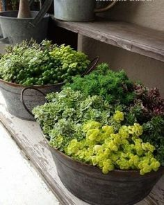 Love these buckets of succulents. Front porch perhaps :) Gardening Man Love these buckets of succulents. Front porch perhaps :) Gardening Man Succulents In Containers, Cacti And Succulents, Container Plants, Planting Succulents, Container Gardening, Planting Flowers, Gardening Vegetables, Flowers Garden, Vegetable Garden