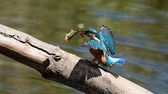 Austria, Bird, Animals, Insects, Fish, Common Kingfisher, Belgium, Asia, Animales