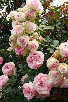 Roses in the garden- Cabbage roses.../
