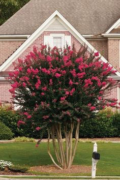 HOW TO: Style Crapemyrtles Into Shapely Trees. Crapemyrtles are extremely adaptable and fast growing, making them ideal for training and shaping into single- or multi-trunked trees. Follow These Simple Pruning Tips To Achieve The Look You're After. Tropical Landscaping, Modern Landscaping, Front Yard Landscaping, Landscaping Ideas, Crepe Myrtle Landscaping, Southern Landscaping, Landscaping Equipment, Inexpensive Landscaping, Gardens