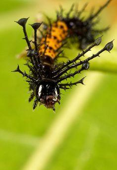 Citheronia splendens  1st instar
