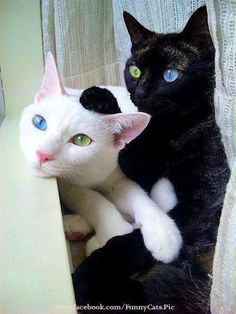 blue and green eyed cats