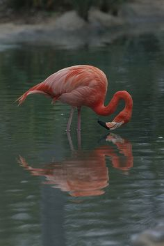 Flamingo...reflection