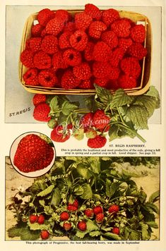 strawberry-00499 - 048-Strawberry, Raspberry - ArtsCult.com craft old fabric paintings collage 17th commercial download masterpiece ArtsCult scan picture supplies vintage collection nice ornaments printable 1800s scrapbooking public nature 1700s qulity free flower 1900s engravings lithographs books use pages natural illustration Pictorial art pack 18th flowers plants digital century transfer Graphic floral clipart naturalist  botanical pre-1923 Artscult Victorian decoration Paper 300 dpi…