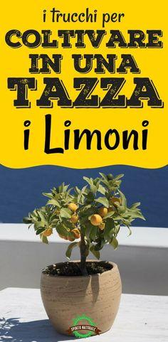 #limoni #agricoltura #ecofaidate #spiritonaturale