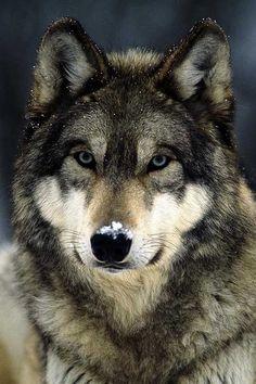 belleza de lobo <3