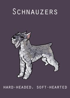 Ranked as one of the most popular dog breeds in the world, the Miniature Schnauzer is a cute little square faced furry coat. Schnauzer Mix, Standard Schnauzer, Miniature Schnauzer Puppies, Giant Schnauzer, I Love Dogs, Puppy Love, Animals Beautiful, Cute Animals, Cat Dog