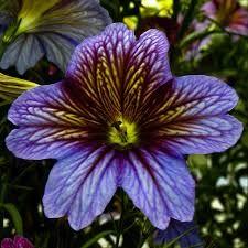 Bildresultat för Nolanaceae