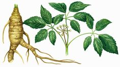 STUDIES SHOW THAT GINSENG:  ~Counteracts effects of physical and emotional stress  ~Enhances memory  ~Stimulates the immune system  ~Spurs production of body's own virus-fighting chemicals  ~Helps reduce cholesterol levels in blood  ~Has anti-clotting effects, reducing the risk of arterial blood clots  ~Helps control diabetes by reducing sugar levels  ~Antioxidant, preventing cumulative cell damage believed to culminate in cancer  ~Protects the liver from effects of drugs, alcohol and toxins