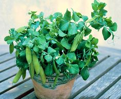 Half Pint Pea English heirloom, 35 seeds, container garden, frost hardy, early harvest, dwarf plants
