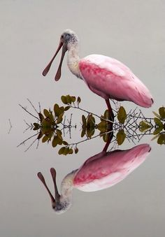Pink Broadbill reflection