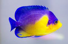 Fish ~ Salt Water on Pinterest   Tropical Fish, Aquarium ...