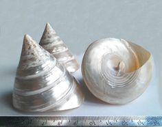 Sea shell Trochus niloticus Trochus large pearl от Lybid на Etsy, $3.00