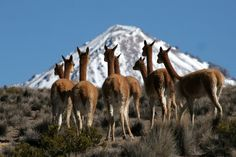 Look closely at the vicuña foot. They have padded feet that are gentle on the earth.