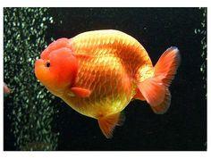 Lionhead Goldfish, Ryukin Goldfish, Comet Goldfish, Goldfish Aquarium, Goldfish Types, Fish Breeding, Cool Fish, Pet Fish, Beautiful Fish
