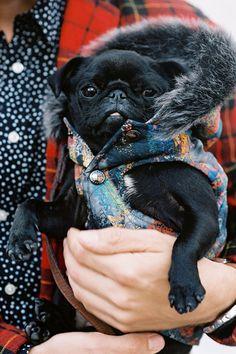 Baby black pug in a coat. Precious.