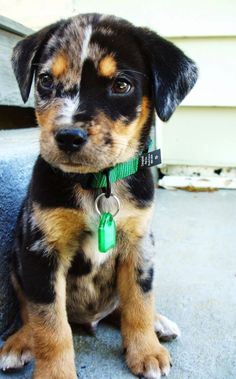 This adorable Louisiana Catahoula Leopard dog who doesn't realize how cute he is! Mais