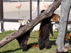red panda Red Panda, Otters, Insects, Fox, Bear, Gallery, Cute, Animals, Animales