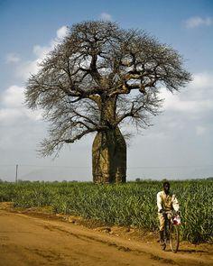 baobab: Baobab tree More at FOSTERGINGER @ Pinterest