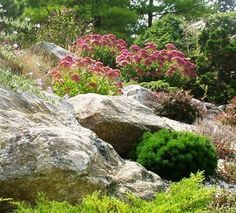 Is it okay to strategically plant deer resistant Sedum and Potentilla even if these are not native to the landscape?
