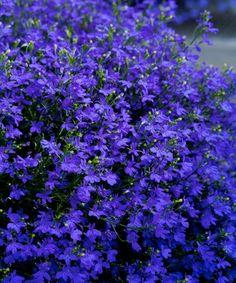 Lobélia ´Deep Blue Star´