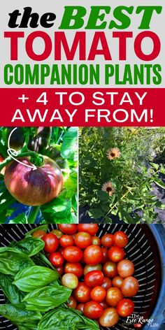Companion planting is a great way to get a better organic garden! It can help reduce pests and give more flavorful yields. Here are the best companion plants for tomatoes and some of the crops to keep away from tomatoes in the vegetable garden too! You can use these useful garden tips for your indoors tomato plants, in a raised bed, and even when growing tomatoes upside down!