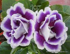 gloxinia flower | gloxinia | Flowers