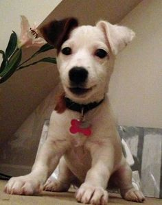 Poppy the Terrier Mix-Poppy the adorable puppy! Just a sweet bundle of energy and love!