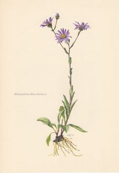 1953 Michaelmas Daisy Antique Botanical Print by Craftissimo