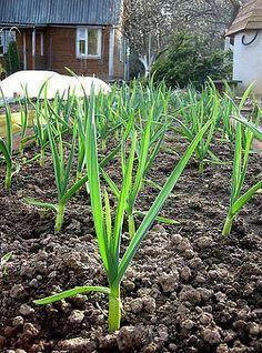 Как вырастить крупный чеснок. | Дачный сад и огород