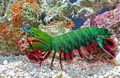 Odontodactylus scyllarus: Camarón mantis pintado o camarón mantis pavo real.