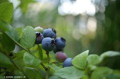 Blaubeeren | Blueberries