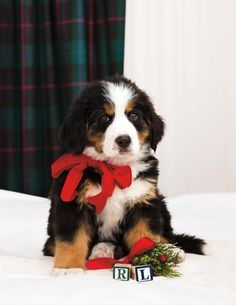 """Dogs have always been part of our family life and the culture of our company. Our first one was a sweet, scruffy bearded collie sheep-dog mix named Rugby. Today Ricky and I compete for the affection of our little teacup Yorkie, Bikini. How can you not love a dog? They give so much and ask for so little!"" - Happy Holidays - Warmest wishes from Ralph Lauren <3"
