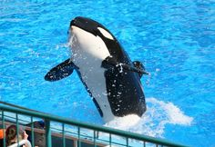 SeaWorld Wants Bigger Tanks — So It Can Get More Orcas