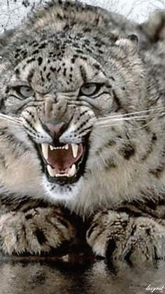 Growling Clouded Snow Leopard.