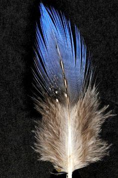 Plume de pintade vulturine bleu-gris