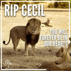 cecil the lion images | Walter Palmer: Minnesota Dentist, Slayer Of Cecil The Lion ...