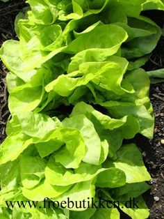 Salat May Queen. Økologisk. Frø.