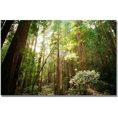 Ariane Moshayedi 'Muir Woods' Canvas Art ($111) ❤ liked on Polyvore featuring home, home decor, wall art, photography wall art, tree canvas painting, landscape painting, landscape wall art and photo tree