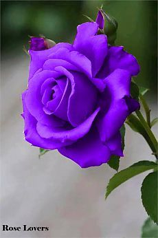 Beautiful Rose Flowers, Pretty Roses, Romantic Roses, Real Flowers, Amazing Flowers, Lavender Roses, Purple Roses, Tea Roses, Rose Pictures
