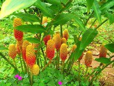Flor de Gengibre. Aprenda a cultivar o gengibre.