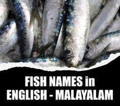 Fishes of Kerala -മലയാളത്തിലും - ഇംഗ്ലീഷിലും മീനുകളുടെ പേരുകൾ. Fish name in Malayalam to English - Local names of Marine fishes and Freshwater fishes . ഒരു മീൻ പല പേരുകൾ,പുഴ മീന്,കടൽ മീൻ. Sole Fish, River Fish, Fish List, Parrot Fish, White Salmon, Prawn Shrimp, Cooking Fish, How To Cook Fish, Marine Fish