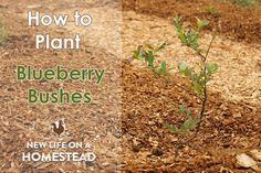 Rose Bush Care - So That You Can Have The Top Rose Bushes We Love Blueberries Here's A Step-By-Step Tutorial On Planting Blueberry Bushes. Figure out How To Plant Blueberries The Right Way To Start Them Off Right Fruit Tree Garden, Garden Trees, Fruit Trees, Garden Plants, Planting Blueberry Bushes, Fruit Bushes, Blueberry Tree, Blueberry Farm, Blueberry Bush Care