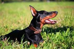 A list of the top Doberman Pinscher names including strong names, German, names, names of notable contributors to the breed's development, and famous Dobermans. Doberman Love, Online Pet Store, Pet Supplements, Doberman Pinscher, Outdoor Dog, Working Dogs, Dog Pictures, Puppy Love, Fur Babies