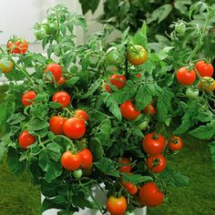 Instructions  Combine one reg. strength aspirin with one gallon of water, mix well, so that the aspirin is dissolved.  Add a dash of mild liquid soap. This is used as a way to help the aspirin water stick better to the tomato plants. Once the soap is added. Pour in spray bottle.  Spray the tomatoes, A light and gentle spray will suffice.  Continue to spray the aspirin mixture on the tomato plants every 2 to 3 weeks. The plants will stay healthier and attract fewer insects.
