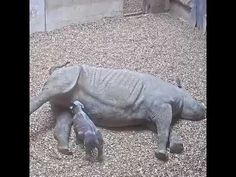 Critically #Endangered Black Rhino Gives Birth To Calf At #ChesterZoo | Animalix http://rite.ly/KVuX