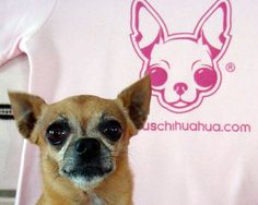 happy birthday to the world's most famous chihuahua, teaka! the chihuahua behind the famous chihauhua legacy! I love this site for chihuahuas.