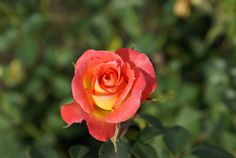 Picaninni | Ludwigs Roses | Bred by Des Wright, Past President of Fed. of  Rose Societies of SA. Truly miniaturised blooms are superbly exhibition shaped. Plant grows vigorously into a fairly substantial bush. Covered  with charming bright orange-yellow blooms on pickable stems. Fragrant.