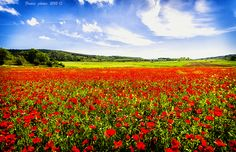 Spring poppies in Maremma Tuscany